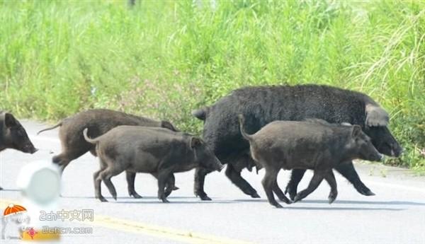 核泄露后的福岛野生动物成群逛
